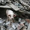 Cina, clonato il maiale eroe del terremoto