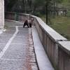CIVITELLA ALFEDENA (AQ): ORSI A 'SPASSO' IN PAESE, IN CERCA DI CIBO (FOTO)