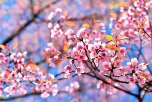 primavera_mandorlo