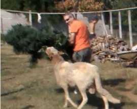 Una delle pecore che tenta di mangiare le foglie di marijuana mentre le piante vengono portate via