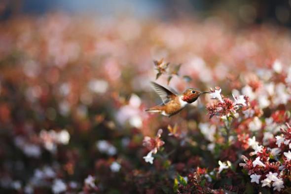 Un colibrì che si nutre del nettare dei fiori bianchi ad Huntington Beach in California.