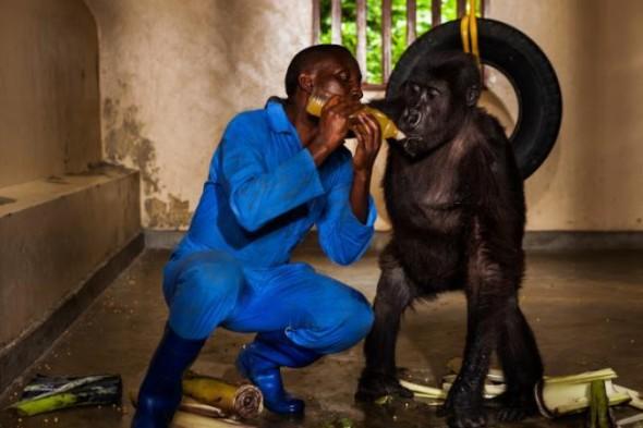 gorilla-salvati