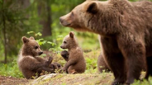cuccioli_orso