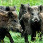 SS650: BUS CONTRO CINGHIALE, ANIMALE MORTO NELL'IMPATTO