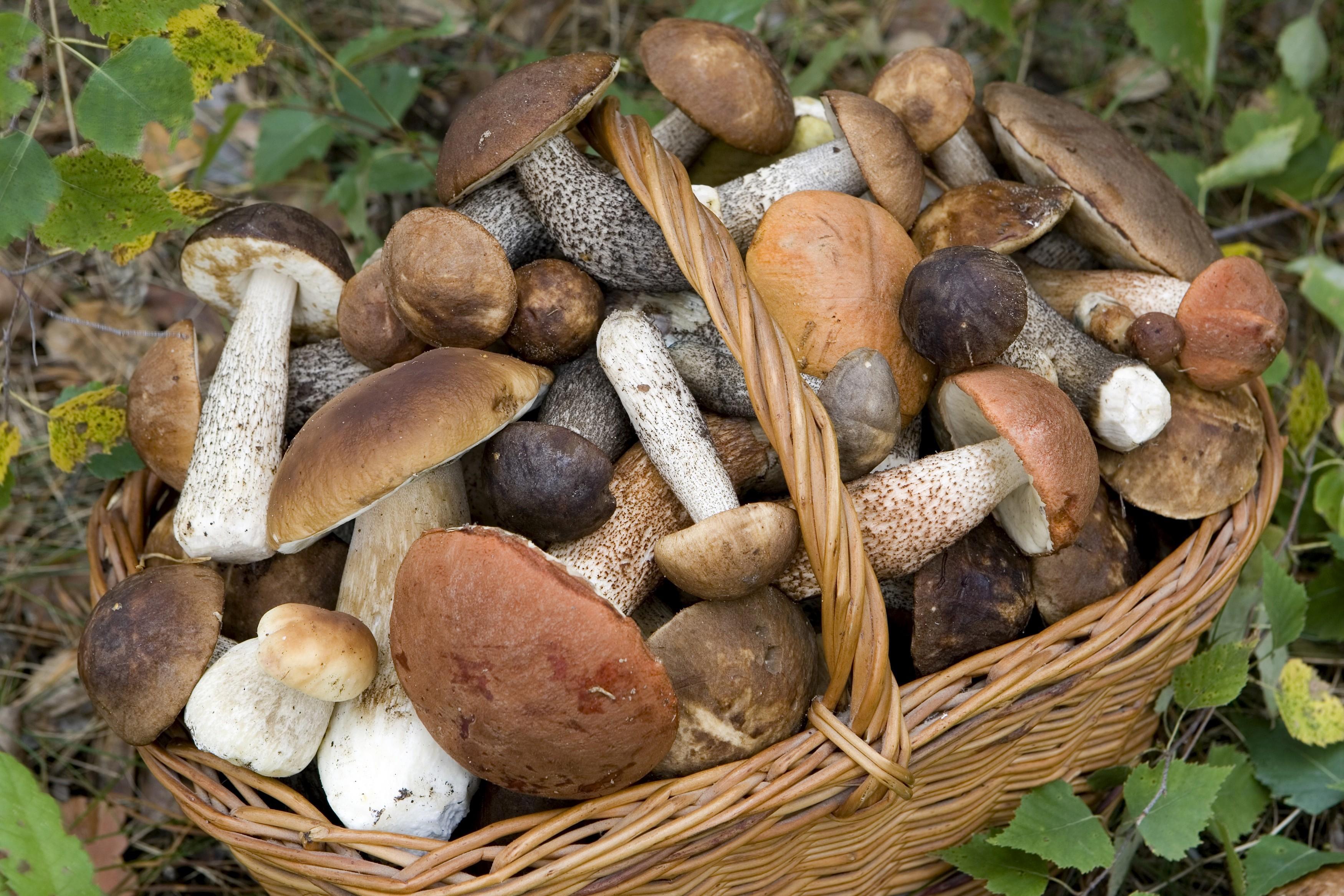 Raccolgono troppi funghi, forestale sanziona tre cercatori in zona parco