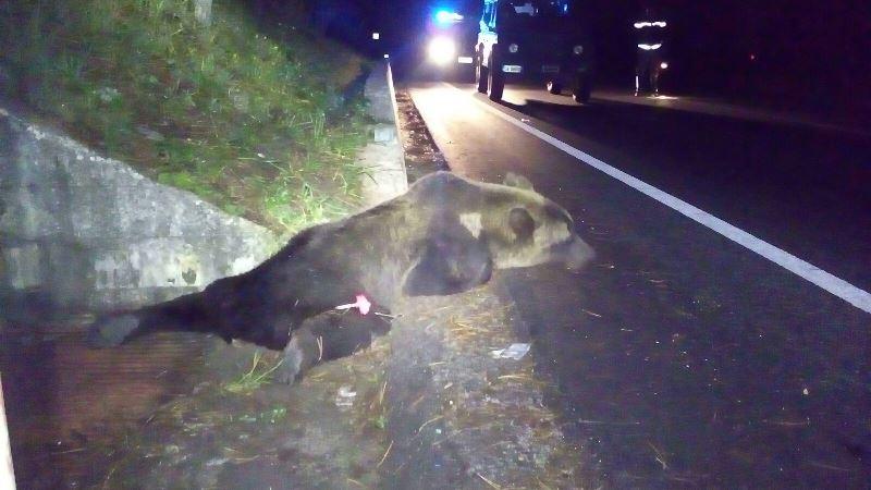 Parco nazionale d'abruzzo: morto il giovane orso investito nella notte a roccaraso