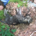 PARCO D'ABRUZZO: 5 CUCCIOLI DI LUPO MORTI, AGGREDITI DA ALTRO ANIMALE
